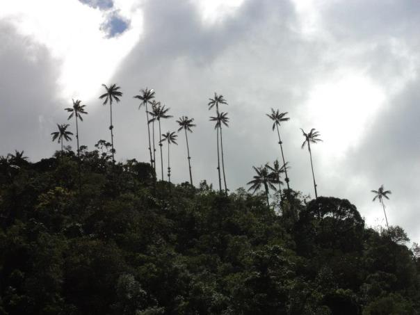 Palmas en el Valle de Cocora