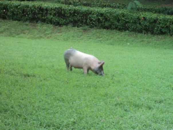El cerdo pastando , frente al Palacio de Gobierno .