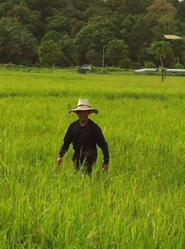 Campos de arroz , en Brunei