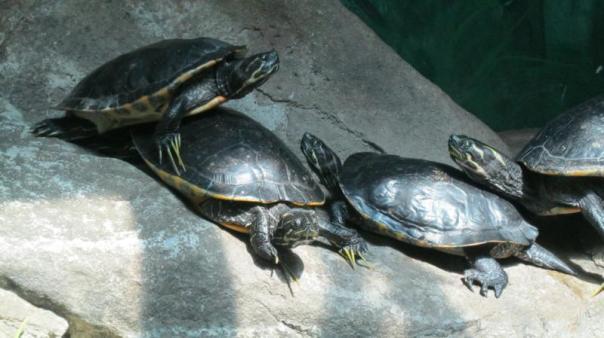 Tortugas en el zoo , en Sidney .
